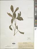 view Crotalaria pallida Aiton digital asset number 1