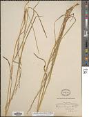 view Glyceria melicaria (Michx.) F.T. Hubb. digital asset number 1