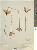 view Calochortus macrocarpus Douglas digital asset number 1