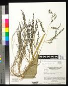 view Aulonemia robusta L.G. Clark & Londoño digital asset number 1