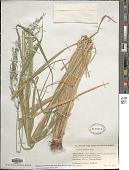 view Megathyrsus maximus (Jacq.) B.K. Simon & S.W.L. Jacobs digital asset number 1