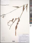 view Aneilema hockii subsp. longiaxis Faden digital asset number 1