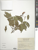 view Heteropterys cotinifolia A. Juss. digital asset number 1