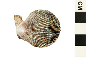 view Variegated Scallop digital asset number 1