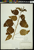 view Croton populifolius Lam. digital asset number 1