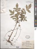 view Agrimonia pubescens Wallr. digital asset number 1