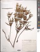view Leucadendron salignum digital asset number 1