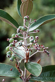 view Miconia albicans (Sw.) Triana digital asset number 1