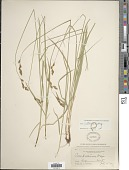 view Carex praticola Rydb. digital asset number 1