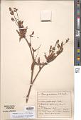 view Flemingia praecox C.B. Clarke ex Prain digital asset number 1