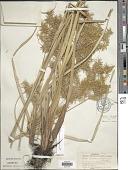 view Cyperus strigosus L. digital asset number 1