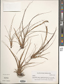 view Tillandsia sp. digital asset number 1