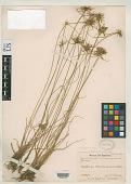 view Cyperus lanceolatus var. subunioloides Kük. digital asset number 1