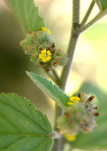 view Waltheria indica L. digital asset number 1