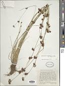 view Rhynchospora capitellata (Michx.) Vahl digital asset number 1