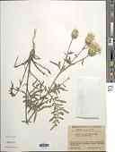 view Centaurea salonitana digital asset number 1
