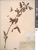 view Salix caroliniana Michx. digital asset number 1