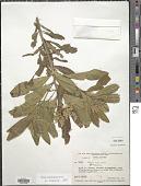 view Monnina cestrifolia Kunth digital asset number 1
