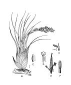 view Vriesea didistichoides (Mez) L.B. Sm. digital asset number 1