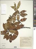 view Symplocos cochinchinensis subsp. leptophylla var. ovata digital asset number 1