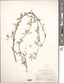 view Philoxerus vermicularis (L.) R. Br. ex Sm. digital asset number 1