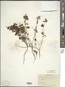 view Vaccinium vitis-idaea L. digital asset number 1