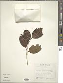 view Syzygium oligadelphum Merr. & L.M. Perry digital asset number 1