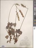 view Heuchera glabella Torr. & A. Gray digital asset number 1