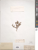 view Lindernia tenuifolia (Colsm.) Alston digital asset number 1