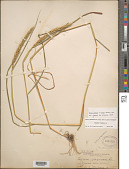 view Elymus virginicus L. var. virginicus digital asset number 1