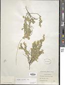 view Polygala ovatifolia A. Gray digital asset number 1