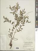 view Hedysarum sulphurescens Rydb. digital asset number 1