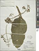 view Aegiphila falcata Donn. Sm. digital asset number 1