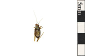 view Handsome Bush Cricket digital asset number 1