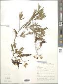 view Senegalia brevispica (Harms) Seigler & Ebinger digital asset number 1