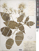 view Clematis simensis Fresen. digital asset number 1