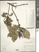 view Garrya laurifolia subsp. laurifolia Hartw. ex Benth. digital asset number 1