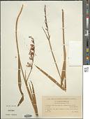 view Gladiolus imbricatus L. digital asset number 1