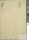 view Polystichum thomsonii (Hook. f.) Bedd. digital asset number 1