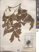 view Carya illinoinensis (Wangenh.) K. Koch digital asset number 1