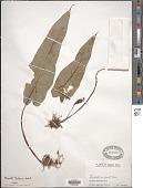 view Remusatia hookeriana Schott digital asset number 1