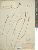 view Moraea thomsonii Baker digital asset number 1