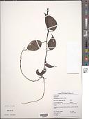 view Peperomia macrostachya (Vahl) A. Dietr. digital asset number 1
