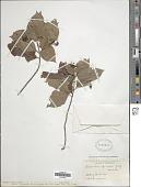 view Chomelia spinosa Jacq. digital asset number 1