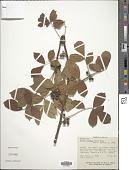 view Bursera arborea (Rose) L. Riley digital asset number 1