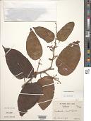 view Guazuma ulmifolia Lam. digital asset number 1