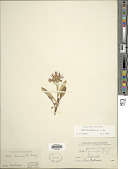 view Symphyotrichum foliaceum (Lindl. ex DC.) G.L. Nesom digital asset number 1