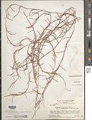 view Schizachyrium maclaudii S.T. Blake digital asset number 1