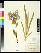 view Iris germanica L. digital asset number 1