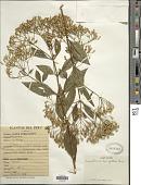 view Chromolaena laevigata (Lam.) R.M. King & H. Rob. digital asset number 1
